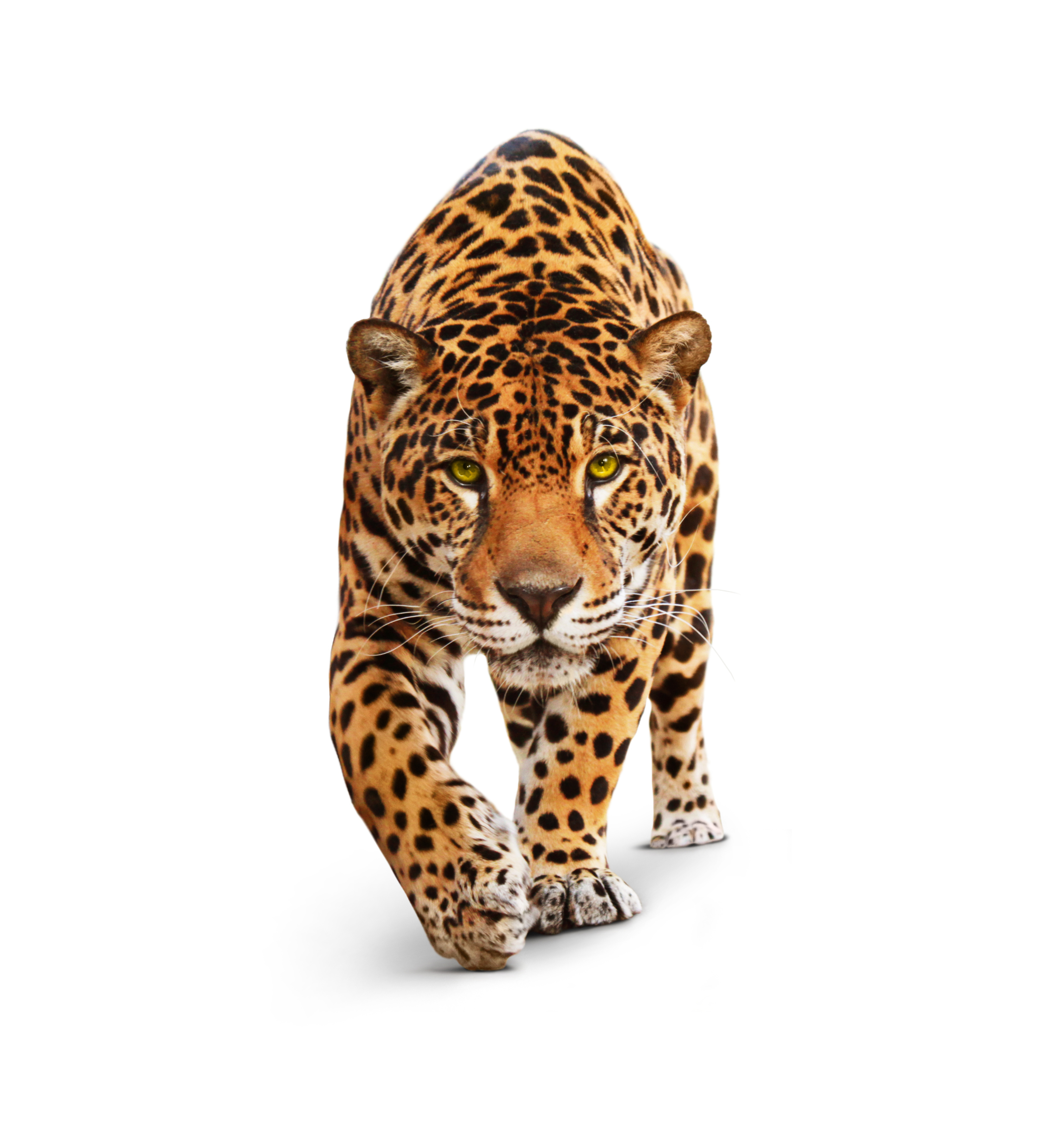 Jaguar - front view, isolated on white, shadow. Spotted wild cat - Panther, looking and walking to the camera. White background, shadow - Copyright by Ana Vasileva <br />at Dreamstime.com-ID19298415XXL